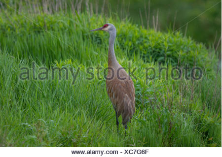 The omnivorous Sandhill Crane (Antigone canadensis ) feeds on land or in shallow marshes where plants grow out of the water, gleaning from the surface and probing with its bill British Columbia, Canada - Stock Photo