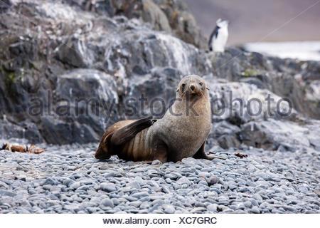 Antarctic fur seal (Arctocephalus gazella), Gentoo penguin (Pygoscelis papua) at the back, Antarctic Peninsula, Antarctica - Stock Photo