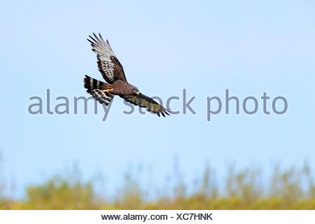 black harrier (Circus maurus), flying, South Africa, Western Cape, Bontebok National Park - Stock Photo