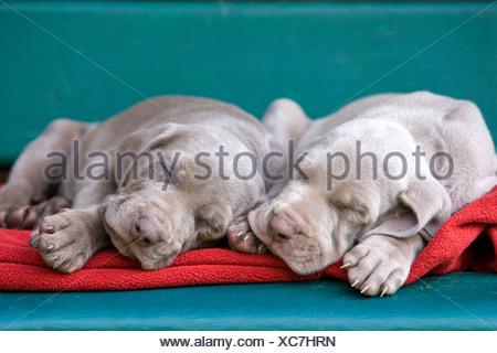 Weimaraner dogs, puppies, sleeping on a bench, North Tyrol, Austria, Europe - Stock Photo