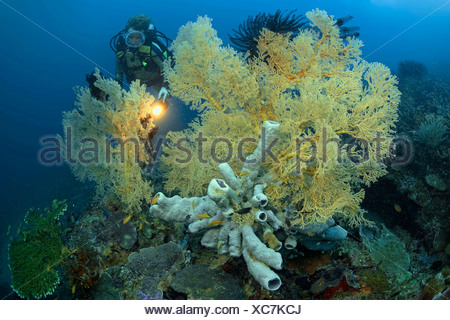 Diver behind a Gorgonian fan (Melithaea sp.), Moalboal, province of Cebu, Philippines, Asia, Indo-Pacific Ocean - Stock Photo
