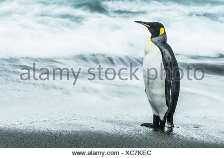 King penguin (Aptenodytes patagonicus) standing on the wet beach; South Georgia, South Georgia and the South Sandwich Islands, United Kingdom - Stock Photo
