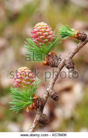 European Larch (Larix decidua), twig with female flowers, North Rhine-Westphalia, Germany - Stock Photo