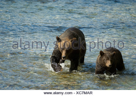 Grizzly Bear (Ursus arctos) Female  with Yearling walking in Salmon Spawning stream. Fish Creek Tongass National Forest, Alaska, - Stock Photo