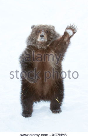 CAPTIVE: Male Brown bear cub from Kodiak stands on hind feet and waves with paw, Alaska - Stock Photo