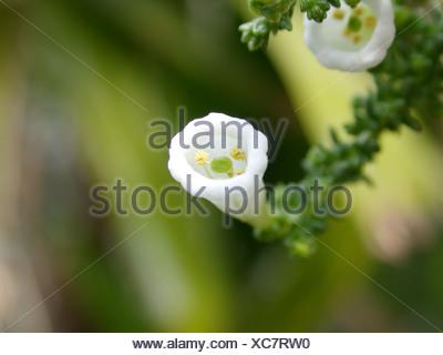 Pichi, Fabiana (Fabiana imbricata), flower - Stock Photo