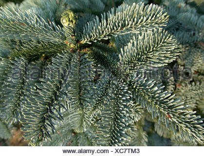 edeltanne,abies procera glauca - Stock Photo