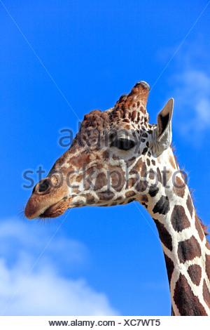 Somali Giraffe or Reticulated Giraffe (Giraffa camelopardalis reticulata), adult, portrait, Africa - Stock Photo