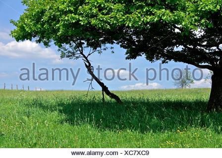 Grüne Eiche - Stock Photo
