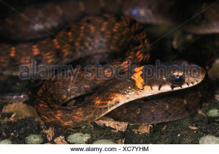 HIMALAYAN KEELBACK Rhabdophis himalayanus. Close up of head and neck. Adult from Changlang district, Arunachal Pradesh, India. - Stock Photo