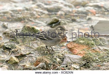 Pied wagtail - Motacilla alba yarrellii - juvenile. - Stock Photo