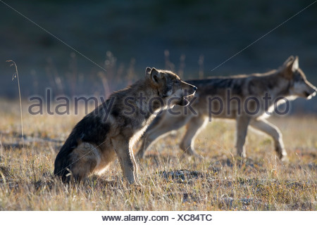 Wolf, Canis lupus, pup of Grant Creek pack, alpine tundra, autumn, howling, horizontal, Denali National Park, Alaska, wild - Stock Photo