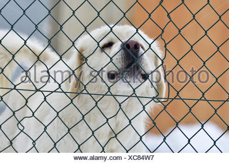 Livestock guardian dog - Stock Photo