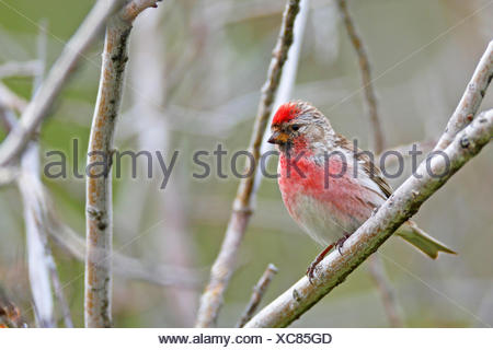 redpoll, common redpoll (Carduelis flammea, Acanthis flammea), male sitting in a tree, Norway, Vengsoya - Stock Photo