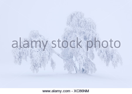 Larch covered with hoar frost and snow, Swabian Alb, Baden-Wuerttemberg, Germany, Europe - Stock Photo
