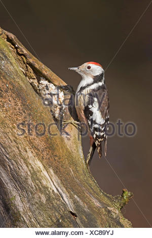 middle spotted woodpecker (Picoides medius, Dendrocopos medius), searching food at a rotten tree trunk, handmade bird feed, fat feed distributed in chinks, Germany - Stock Photo