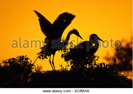 Grey Heron Ardea cinerea adult with well grown chick on nest UK summer - Stock Photo