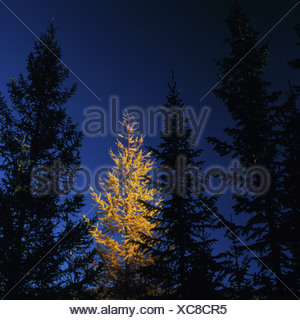 conifere forest with a larch in autumnal leaves at the Lake Baikal in the Bargusin National Park, Russia, Buriatien, Siberian, - Stock Photo