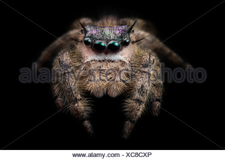 Canopy Jumping Spider female, captive, orginating from North America. Photographed on black velvet. Size < 1cm - Stock Photo