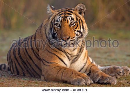 Bengal tiger (Panthera tigris tigris) female 'T19 Krishna' sitting, Ranthambhore National Park, India. - Stock Photo