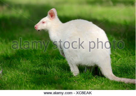 Red-necked wallaby (Macropus rufogriseus), Tasman subspecies Bennett's Wallaby, albino, occurrence in Australia, captive