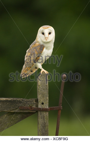 Barn Owl (Tyto alba) perched on an old gate at dusk. - Stock Photo