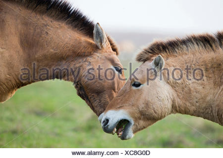 Przewalskis Horse Mongolian Wild Horse (Equus ferus przewalskii) Stallions fighting Lake Neusiedl Austria - Stock Photo