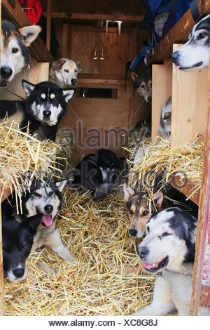 Sled dogs being transported in a truck, Muktuk Kennels, Yukon Territory, Canada - Stock Photo