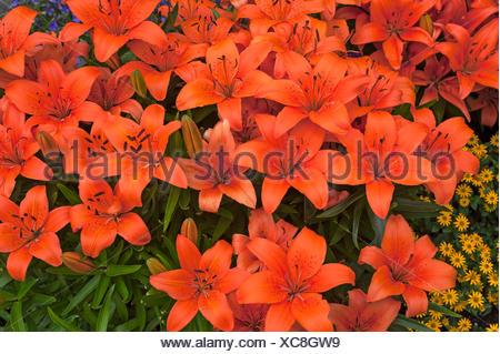 Orange Tiger Lilies (Lilium lancifolium), Bavaria, Germany - Stock Photo