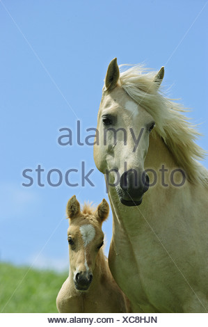 German Riding Pony mare with foal - portrait - Stock Photo