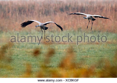 common crane, (Grus grus), wildlife, Nationalpark Vorpommersche Boddenlandschaft, Mecklenburg-Vorpommern Germany - Stock Photo