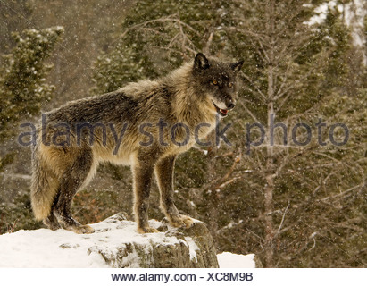 Gray wolf (Canis lupus) standing on a snow covered rock - Stock Photo