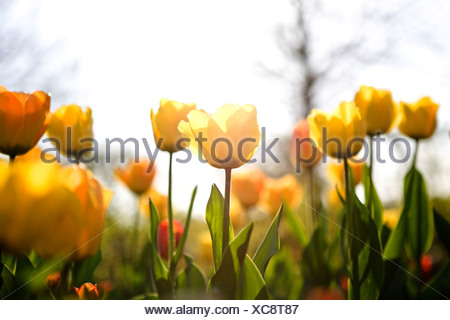 A bed of yellow tulips in spring - Stock Photo