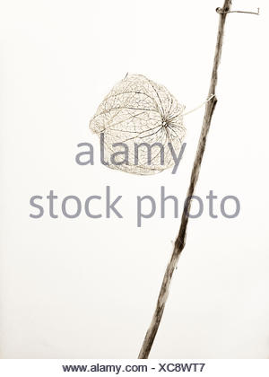 Aesthetic, dried balloon flower in black and white, cut out in front of a neutral backround - Stock Photo