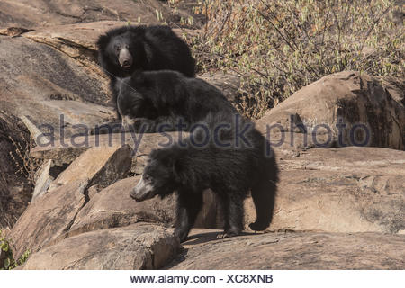 Sloth Bear, Melursus Ursinus. Daroji Bear Sanctuary, Ballari district, Karnataka, India - Stock Photo