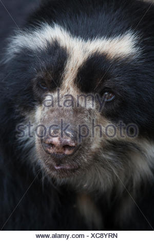 Close up portrait of a captive spectacled bear, Tremarctos ornatus. - Stock Photo