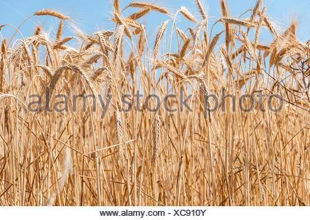 Wheat field on sunny day - Stock Photo