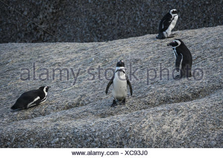 Jackass Penguin, (Spheniscus demersus,) - Stock Photo