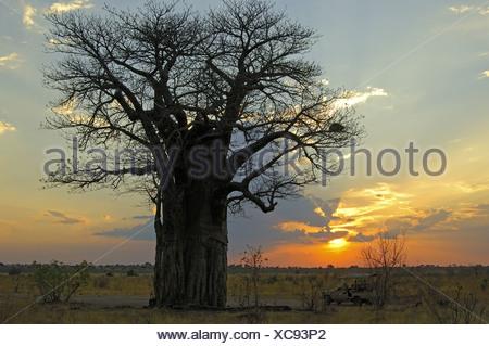 Baboab tree,  Savuti, Botswana - Stock Photo