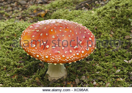New Zealand. South Island. Colorful red mushroom on forest floor, Amanita muscaria, Fly agaric, poisonous fungi.. - Stock Photo