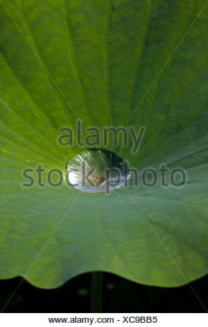 Indian Lotus (Nelumbo nucifera), leaf with water droplet, lotus effect, Arboretum Baumpark Ellerhoop, Schleswig-Holstein - Stock Photo