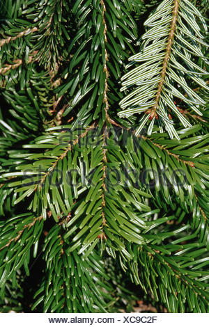 Nordman fir (Abies nordmanniana), branch - Stock Photo