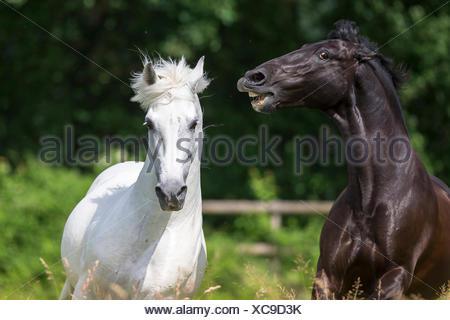 Pure Spanish Horse, Andalusian. Black stallion threatening white stallion on a pasture. Switzerland - Stock Photo