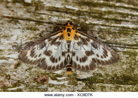 Small Magpie (Anania hortulata) resting on a Birch tree. - Stock Photo