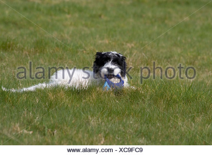 portrait cockerpoo puppy sitting in field - Stock Photo