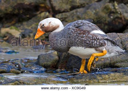 Flightless steamer duck (Tachyeres brachypterus), male at the coast, Antarctica, Falkland Islands, Carcass Island, Falkland Inseln - Stock Photo