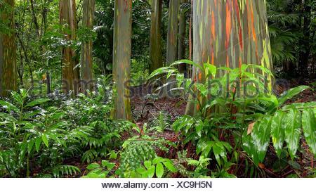Colorful tree trunks of the Rainbow Eucalyptus (Eucalyptus deglupta) at the Keanae Arboretum along the road to Hana in Maui, Hawaii. - Stock Photo