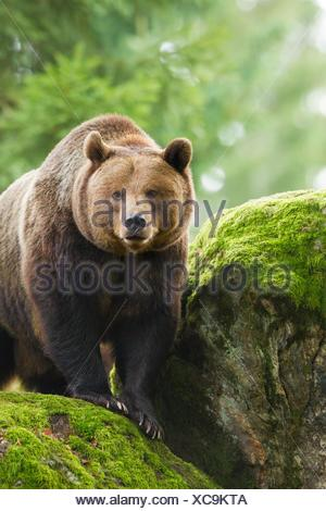 Brown Bear (Ursus arctos), Bavarian Forest National Park, Germany. - Stock Photo