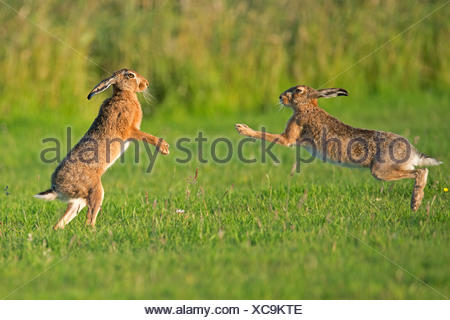 European hares (Lepus europaeus) boxing, UK - Stock Photo