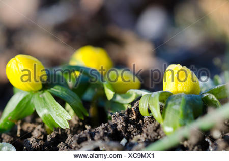 winter aconite - Stock Photo